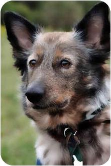 Australian Cattle Dog/Australian Shepherd Mix Dog for adoption in Guelph, Ontario - Trixie