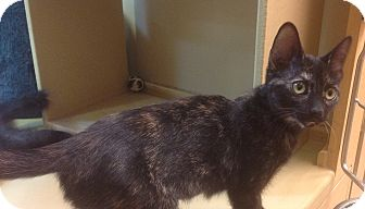 Calico Kitten for adoption in Modesto, California - Shelby