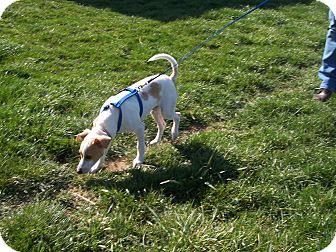 Jack Russell Terrier/Rat Terrier Mix Dog for adoption in Germantown, Maryland - Fonzie