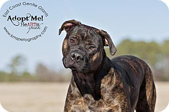 Cane Corso Puppy for adoption in Virginia Beach, Virginia - Colt
