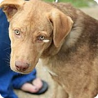 Adopt A Pet :: Apache - Austin, TX