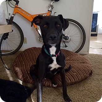Labrador Retriever/Whippet Mix Dog for adoption in Phoenix, Arizona - Olaf