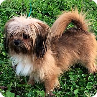 shih tzu rescue va richmond va pekingese shih tzu mix meet jimmy a dog 1413