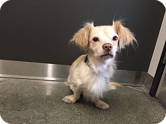 Cavalier King Charles Spaniel/Dachshund Mix Dog for adoption in Redondo Beach, California - Luke- I am adorable!