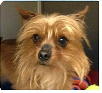 yorkie rescue arkansas springdale ar yorkie yorkshire terrier mix meet zip a 7676