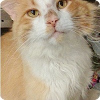 Adopt A Pet :: O'Malley-TOMCAT SEEKS LOVE - Naperville, IL