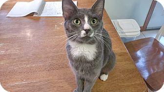Domestic Shorthair Kitten for adoption in Columbus, Ohio - Blue