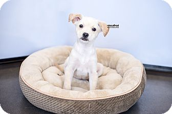 Chihuahua/Basenji Mix Puppy for adoption in Atlanta, Georgia - Buffy