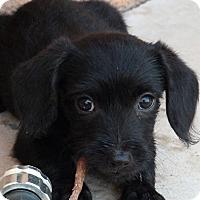 Adopt A Pet :: Moonlight - Tucson, AZ