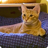 Adopt A Pet :: Dart - Sweet Orange Kitten - Metairie, LA