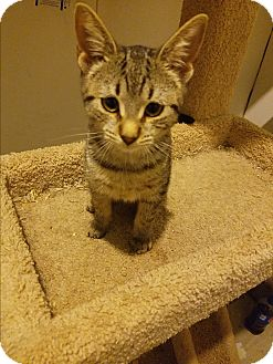Domestic Shorthair Kitten for adoption in Medford, New York - Talia