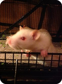 Rat for adoption in Philadelphia, Pennsylvania - SOUTH PHILLY Group: BABY GIRLS