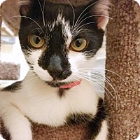 Domestic Mediumhair Kitten for adoption in Chino Hills, California - Oreo
