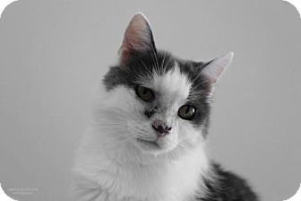 Domestic Shorthair Cat for adoption in South Amana, Iowa - Bubbles