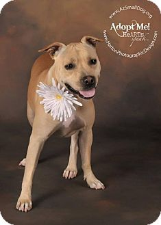 Staffordshire Bull Terrier Mix Dog for adoption in Phoenix, Arizona - Daisy