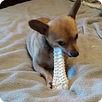 Chihuahua Dog for adoption in Columbus, Ohio - Hector
