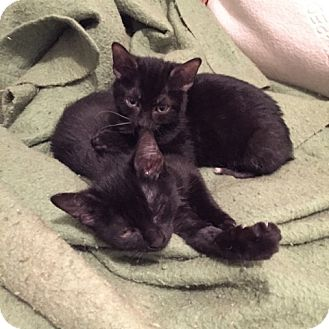 Bombay Kitten for adoption in Brooklyn, New York - Jitterbug and Diggy, Adorable Bombay Kittens