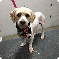 Lhasa Apso Mix Dog for adoption in Fort Atkinson, Wisconsin - Brewster