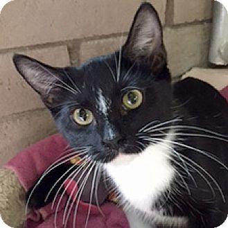 Egyptian Mau Cat for adoption in Phoenix, Arizona - Spooky