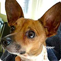 Jack Russell Terrier Mix Dog for adoption in Warren, Pennsylvania - Dapper