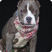 Adopt A Pet :: Chevy - SAN PEDRO, CA