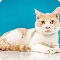 Adopt A Pet :: Tildon - Chandler, AZ