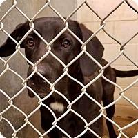Adopt A Pet :: Sullivan - Urgent! - Zanesville, OH