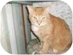 Domestic Shorthair Cat for adoption in North Boston, New York - Sunshine