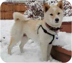 Shiba Inu Puppy for adoption in Round Lake, Illinois - Koko