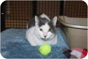 Domestic Shorthair Cat for adoption in North Branford, Connecticut - Beardsley