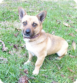 Corgi Mix Dog for adoption in Mocksville, North Carolina - Mandy