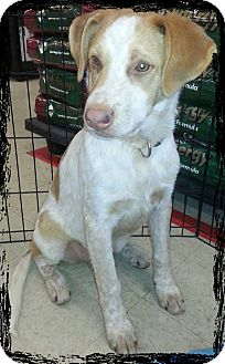 Australian Cattle Dog/Boxer Mix Puppy for adoption in Linton, Indiana - Solomon