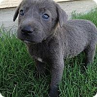 Adopt A Pet :: Josh - Arlington, TX
