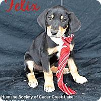 Adopt A Pet :: Felix - Plano, TX