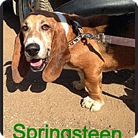 Adopt A Pet :: Springsteen - Acton, CA