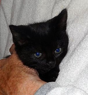 Domestic Shorthair Cat for adoption in Palm City, Florida - Juliette