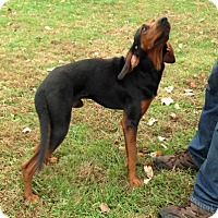 Black and Tan Coonhound Mix Puppy for adoption in Cleveland, Ohio - Ralph