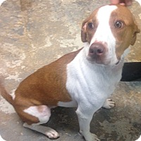 Adopt A Pet :: Rocky - Pompton Lakes, NJ
