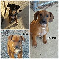 Adopt A Pet :: Doberman Mix Puppies - Cranford, NJ