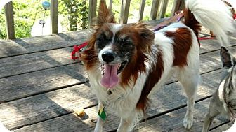 Papillon Dog for adoption in Fort Worth, Texas - Pepe La Pew