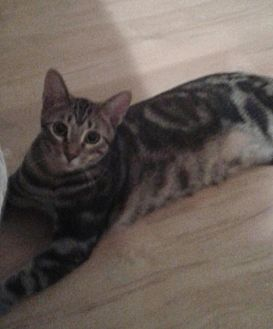 Domestic Shorthair Cat for adoption in Flower Mound, Texas - Chadwick