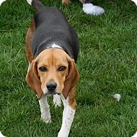 Adopt A Pet :: Abby - Howell, MI