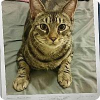 Adopt A Pet :: Diamond - Surprise, AZ