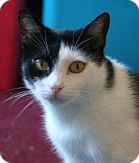Domestic Shorthair Cat for adoption in Los Angeles, California - Gemma