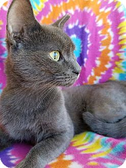 Domestic Shorthair Cat for adoption in Hornell, New York - Church