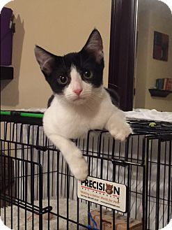 Domestic Shorthair Kitten for adoption in New  York City, New York - Skunk