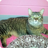 Maine Coon Cat for adoption in Albany, Georgia - Amanda