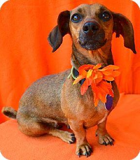 Dachshund/Pug Mix Dog for adoption in Chattanooga, Tennessee - Cori