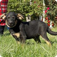 Adopt A Pet :: Snowy - Batavia, OH
