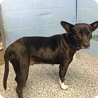 Chihuahua Mix Dog for adoption in San Bernardino, California - URGENT on 10/26 SAN BERNARDINO